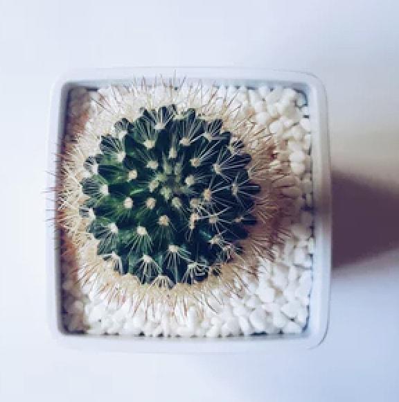 Cactus plant on a pot