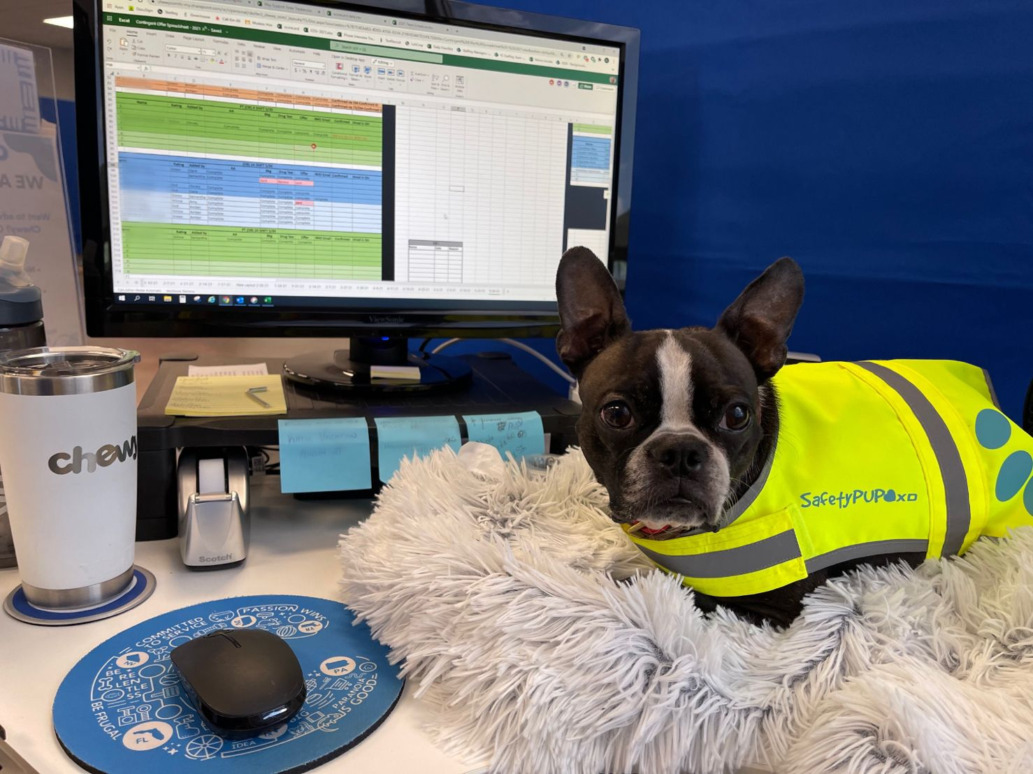 A black and white dog wearing a Chewy FC yellow vest, sitting on a bed on a desk