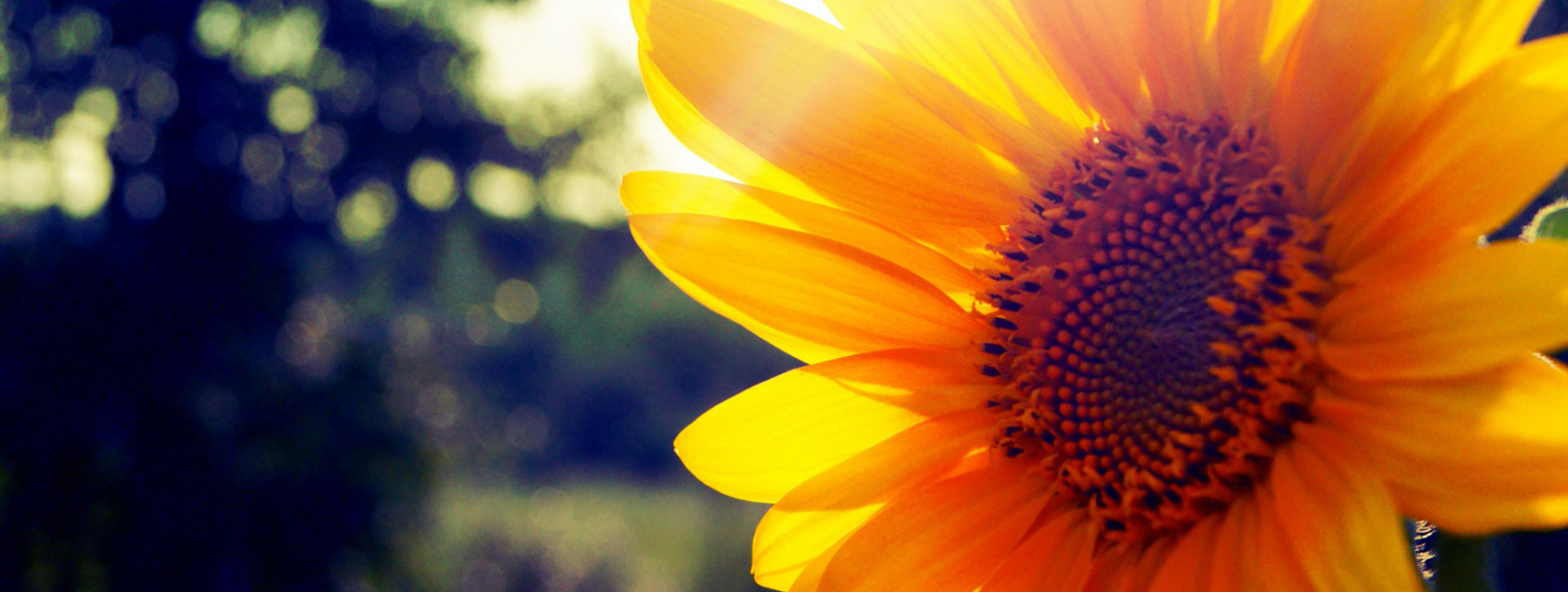 Sunflower in the sunlight